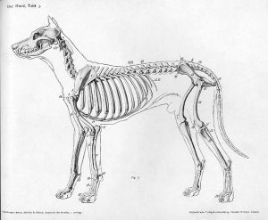 Skeletal anatomy of a dog-Wikipedia